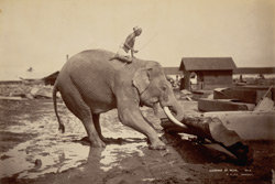 Elephant at work [Rangoon] 15618